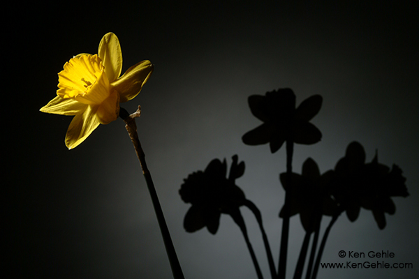 Wordless Wednesday: Daffodil