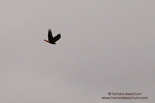 Red-tailed Hawk Over Atlanta